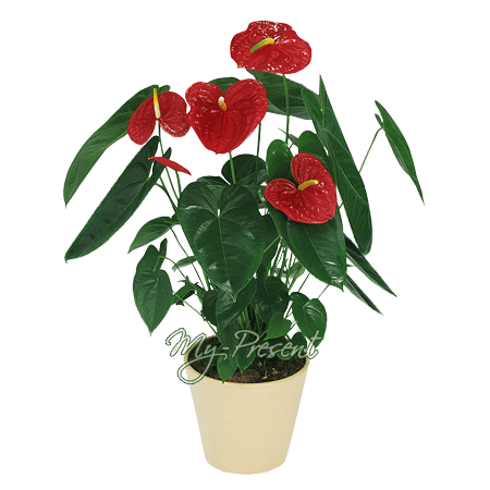 Anthurium in Erevan