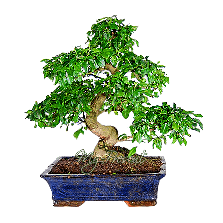 Bonsai in Kiev